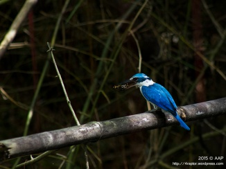 Collared Kingfisher_Concat_aap-1