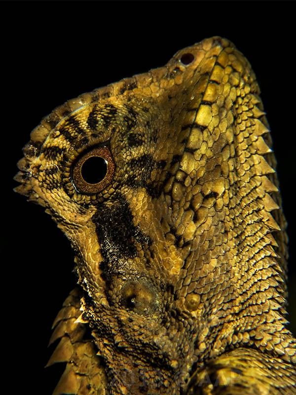 Gonocephalus kuhlii_Merapi_aap-1