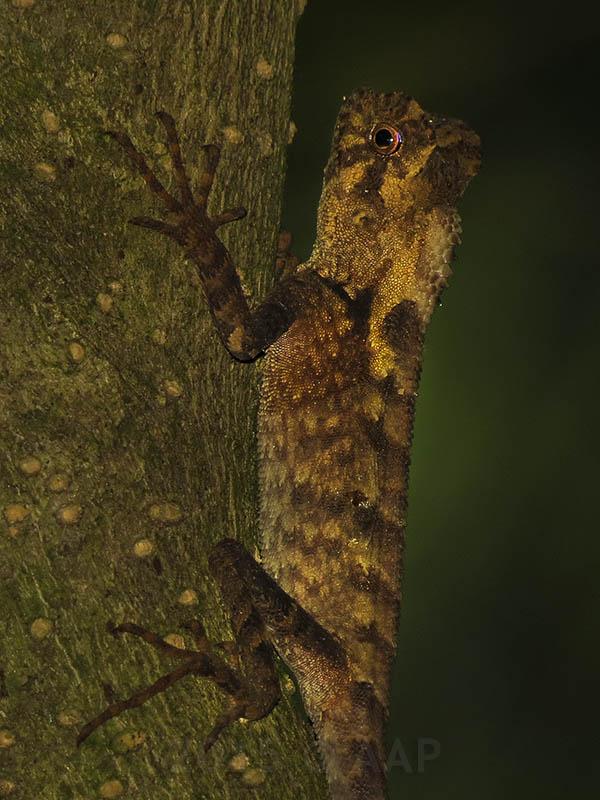 Gonocephalus kuhlii_Merapi_aap-2