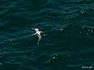 White-tailed Tripocbird