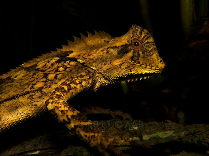 Gonocephalus kuhlii_Merapi_aap-3