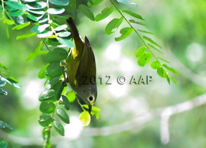 Javan Grey-throated White-eye