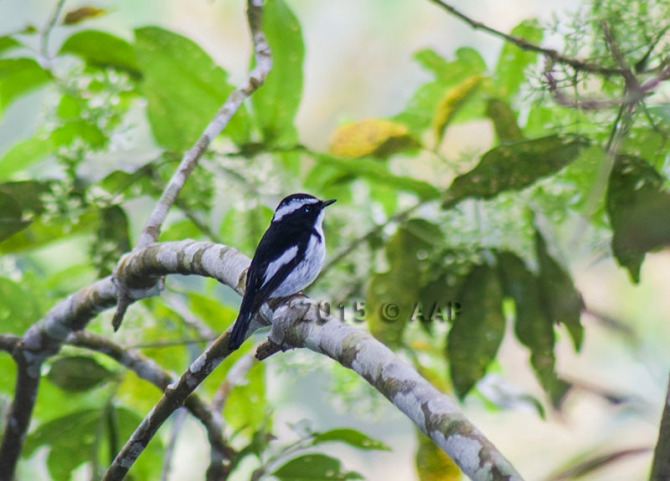 Little Pied Flycatcher_male_merapi_aap-4