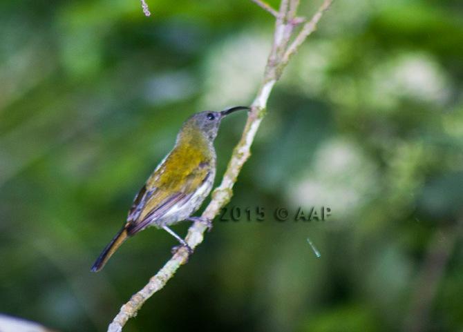 White-flanked Sunbird_Merapi_aap-1