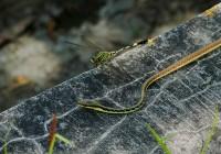 Dendrelahis pictus