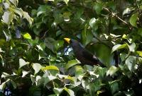Grosbeak Starling :: Scissirostrum dubium (Latham, 1801)