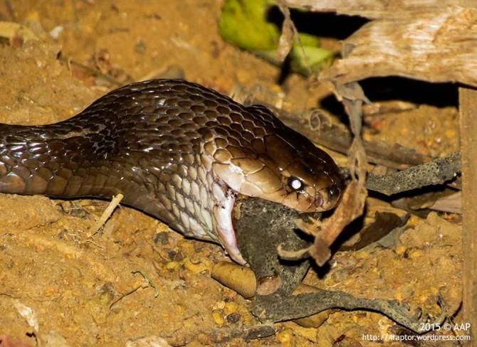 Cobra (Naja sputatrix) atau yang disebut sebagai ular Dumung memangsa Kodok (Bufo sp) di belakang rumah kami Suro, Kalibagor, Banyumas, 17/07/15