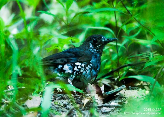 Anis Hutan (Zoothera andromedae) mencari makan di lantai hutan Taman Nasional Gunung Merapi, Minggu 12 Juli 2015.