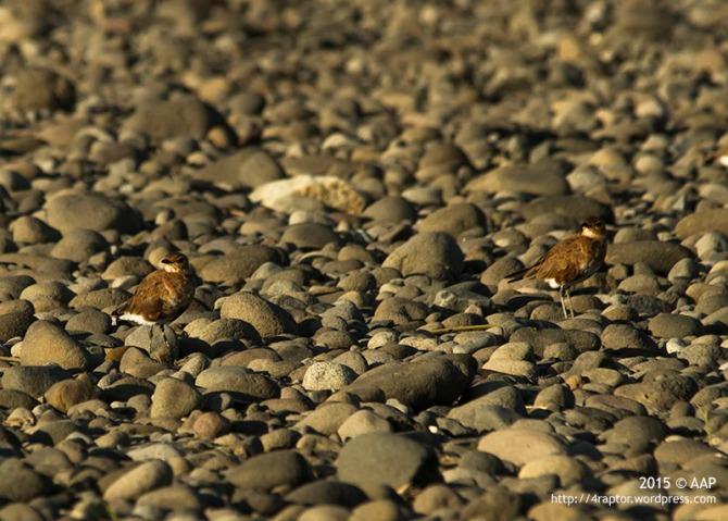 Dua ekor Terik Australia pengunjung dari Australia yang memanfaatkan delta progo sebagai persinggahan dan mencari makan. Delta Progo di Kabupaten Kulon Progo menjadi kawasan burung migran singgah. 05 Juli 2015