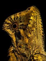 2013 - Gonocephalus kuhlii #1