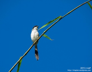 Long-tailed Shrike_Petung_240615