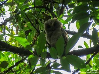 Sunda Scops-owl_Yogyakarta_020715_3
