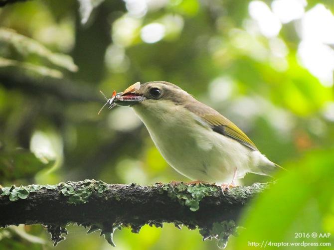 Pied Shrike Babbler_Lawu_Fem_aap-1