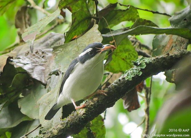 Pied Shrike Babbler_Lawu_Male_aap-1