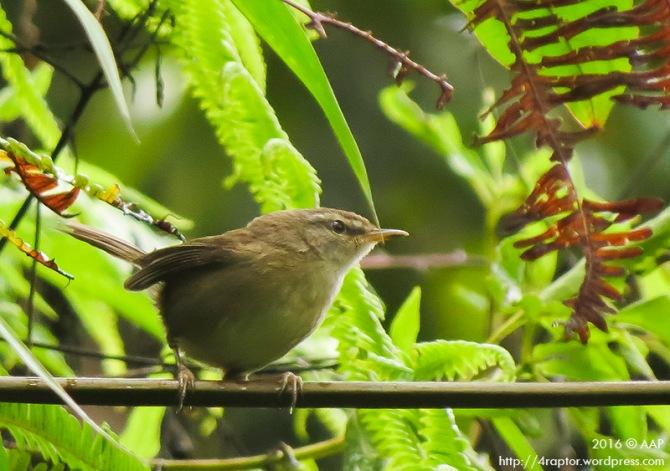 Sunda Bush Warbler_Lawu_aap-1