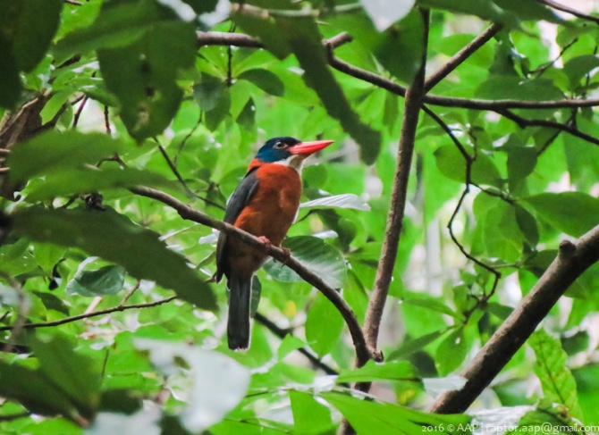 Green-backed Kingfisher_Tangkoko-2