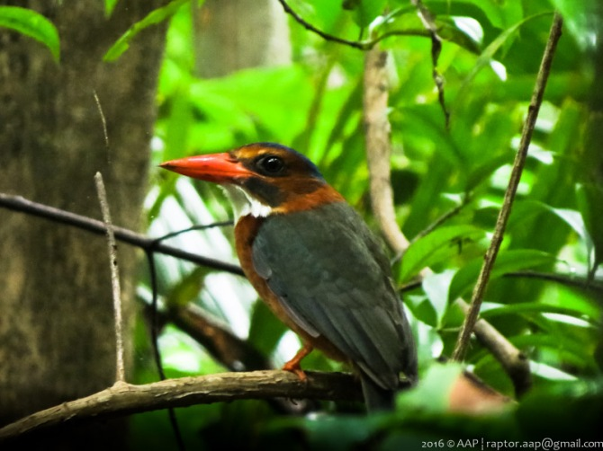 Green-backed Kingfisher_Tangkoko_Fem