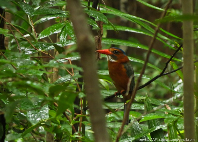 Green-backed Kingsfisher_Tangkoko_fem1
