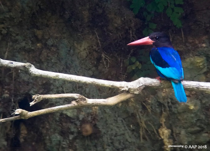 Javan Kingfisher_phonescoping_aap2