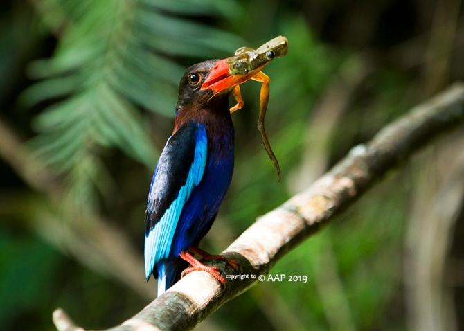 Javan Kingfisher_GunungKelir_aap-319