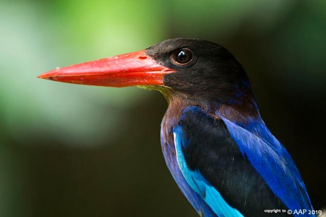 Javan Kingfisher_GunungKelir_aap-519