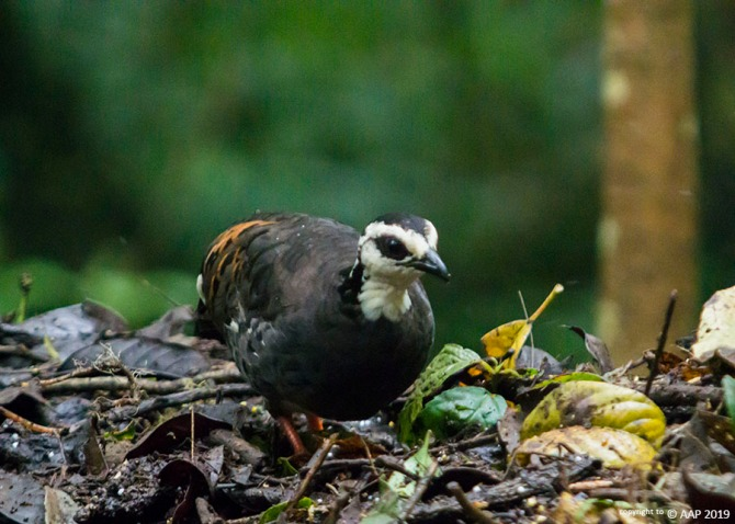 WHITE-FACED PARTRIDGE