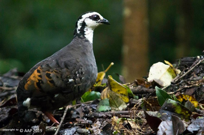 white-faced partridge_aap2019_3